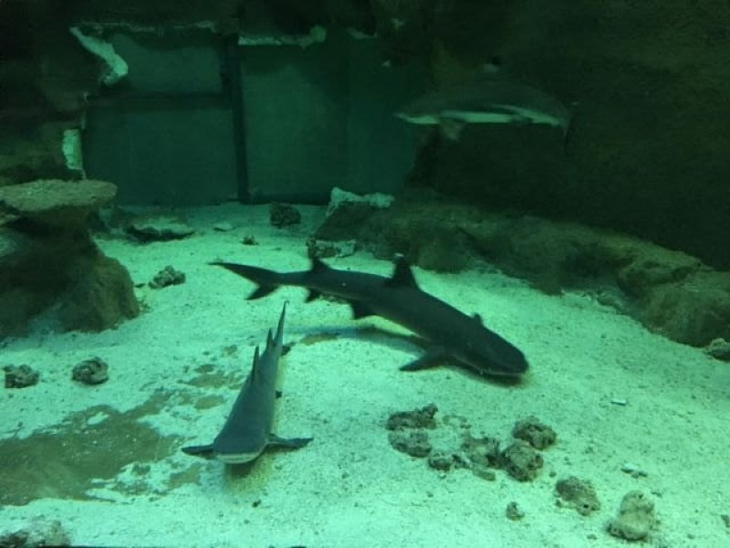 <span style='color:#780948'>ARCHIVED</span> - Faustino the blacktip reef shark moves from Murcia to the Oceanogràfic in Valencia