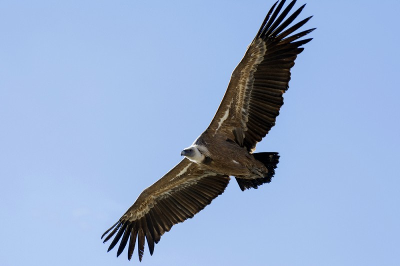 <span style='color:#780948'>ARCHIVED</span> - Griffon vultures begin to breed again the Sierra Espuña